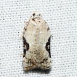3517 - Bent-wing Acleris - Acleris subnivana *