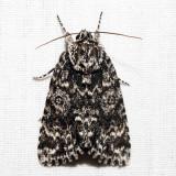 9259 - Night-Wandering Dagger Moth - Acronicta noctivaga