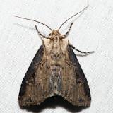10658 – Agrotis stigmosa