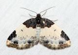 7307 – White-ribboned Carpet – Mesoleuca ruficillata