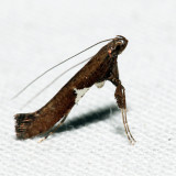 0639 - Caloptilia stigmatella
