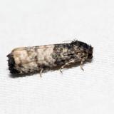 3190 - Epiblema desertana *