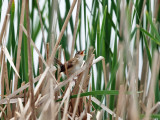 Marsh Wren - Cistothorus palustris (singing from deep inside the reeds)