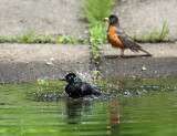 Common Grackle - Quiscalus quiscula (taking a bath)