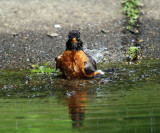 American Robin - Turdus migratorius (taking a bath)