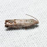 3110 - Eucosmini no genus (Eucosma) gomonana *