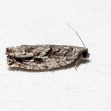 3259 - Arrowhead Moth - ?Gretchena deludana *