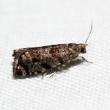 3338 - European Spruce Needleminer Moth - Epinotia nanana *