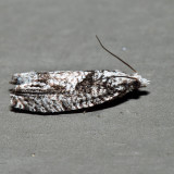 3334 – Maple Trumpet Skeletonizer Moth – Catastega aceriella *