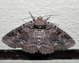8703 - Pine False Looper Zale - Zale duplicata