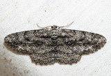 6590 - Common Gray - Anavitrinella pampinaria