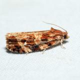2771 - Macramé Moth - Phaecasiophora confixana *