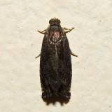 3471 – Hickory Shuckworm Moth – Cydia caryana *
