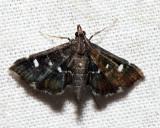 5174/5 Diathrausta reconditalis or harlequinalis *