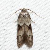 1162 - Acorn Moth - Blastobasis glandulella 6.6.26
