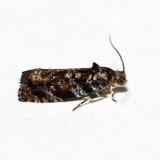 2831 - Pristerognatha agilana *
