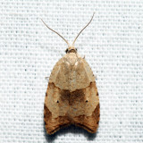 3747 - The Batman Moth - Coelostathma discopunctana *