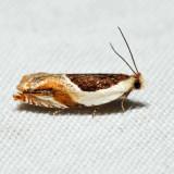 3365 - Ancylis spiraeifoliana complex *