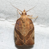 3594 - Three-lined Leafroller - Pandemis limitata *