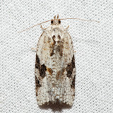 3625 - Gray-banded Leafroller - Argyrotaenia mariana *