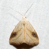 8404 - Spotted Grass Moth - Rivula propinqualis