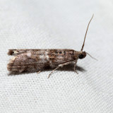5818 - Tupelo Leaffolder - Actrix nyssaecolella *