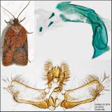 Acleris sp.
