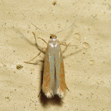 0143 - Coptotriche zelleriella *