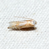 0752 – Phyllonorycter fitchella 6.13.16