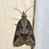 3740 - Tufted Apple Bud Moth - Platynota idaeusalis 6.13.17