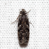 1878 - Xenolechia ontariensis *