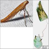 Caloptilia sp. 2812