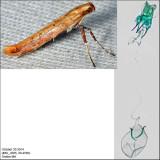 Caloptilia sp. 4585