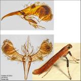 Caloptilia sp. 4573