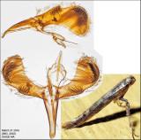 Caloptilia sp. 3-31-16.1.jpg