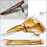 0635 - Caloptilia sp. (undescribed sumac feeder)