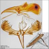 Caloptilia sp. 10-24-14.jpg