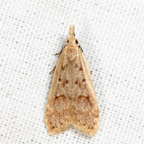 2283 - Spotted Dichomeris - Dichomeris punctidiscella 6.17.4