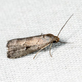 8420 - Large Hypenodes - Hypenodes caducus 6.17.9