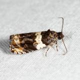 2823 - Olethreutes fasciatana 6.17.24