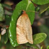 3675 - Aphelia alleniana *