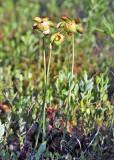Purple Pitcherplant - Sarracenia purpurea