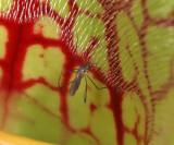 Wyeomyia smithii
