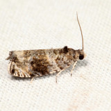 2821 - Serviceberry Leafroller - Olethreutes appendiceum *