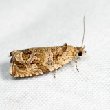 2817 -  Raspberry Leafroller - Olethreutes permundana 6.19.5
