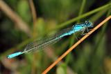 Azure Bluet - Enallagma aspersum (male)