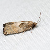 3228 - Gypsonoma salicicolana 6.20.1