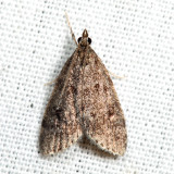 4717 - Dark-brown Scoparia - Scoparia penumbralis *