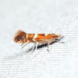 0808 – Cameraria australisella 6.20.12