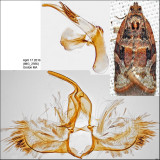 Tortricidae Moths Identified with Genitalia Pictures (2701-3863)